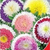 Семена Астры Сокровище Монтесумы, на растении формируется до 30 соцветий разнообразных окрасок.
