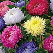 Астры цветут с лета до поздней осени. Последний лот . Последние семена, больше нет!!!!!