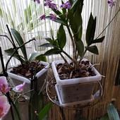 детка орхидейки Дендробиум Берри Ода.