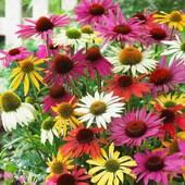 """Лекарственные травы! Эхинацея """" Смесь расцветок"""" - семена до 2023 года!"""