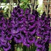 Гладиолус Purple Flora. Лот 1 луковица. Фото 2