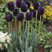 Тюльпан  сорта Queen of Night:-королева ночи.Можно садить в не замерзлую землю-весной зацветут!