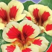 Настурция Клубника со сливками. Семена. Цветет с июня до мороза.
