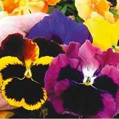Семена виолы F1 Ромео и Джульетта смесь. Яркие бархатные цветы до 8 см в диаметре!
