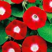 Ипомея Серенада красная. Семена. Цветы в диаметре 12 см!!!