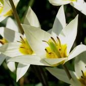 Собирайте лоты!! Тюльпан Ботанический Turkestanica.Очаровательный экзотический тюльпан.
