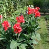 Канна (Canna) - изумительной красоты цветок высотой 50-250 см ( лот одна деленка)