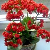"""Суккулент каланхоэ""""Блоссфельда"""" махровое. Лот( фото 2) - крепкое растущее растение!!!"""