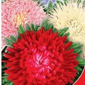 Астра Гордость осени. Смесь. Игольчатые, шаровидные, помпонные и трубчатые цветы разных расцветок.