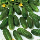 Голландские семена огурца АстериксF1,лот-30шт