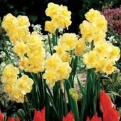 "Собирайте лоты!!Хорошая погода для посадки нарцисов!! Нарцисс ""Yellow Cheerfulness"""