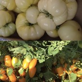 Набор семян томатов 5 сортов по 20шт.