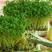 Семена Кресс-салата Афродита. Скороспелый, через 7-10 дней можно есть.
