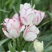 Тюльпан многоцветковый, 6 цветков на одном цветоносе
