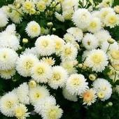 Хризантема бордюрная Снежный или Золотой шар на выбор!!! Семена до 2024 !!!
