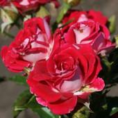 Роза спрей Руби Стар -1 саженец