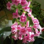 Колерия Manchu !Продоваемое растение (фото 2 ) крепкий кустик! Фото 3 - цвет маточника!!!