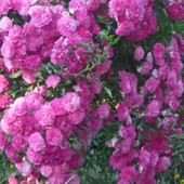 "Витка троянда сорту ""Ексцельза"" саджанець."