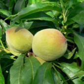 Персик поздний
