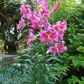 Лилия Robina от гибрид. Высокая до -150 сантиметров -Сильно ароматная.Будет цвести в этом году!!
