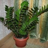 Замиокулькас- Долларовое дерево.Росток