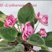 ЛЕ-Клубничная Весна- вкорінені листочки