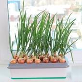 Луковичница\лоток для проращивания зеленого лука дома 37*17