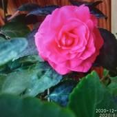 Бальзамин Delight Pink