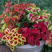 Колеус Блумея — пестролистое растение .В лоте 1 упаковочка Колеус Блумея смесь .