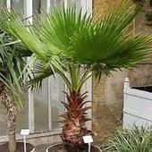 Пальма Вашингтония веерная. До 2024