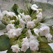 Сенполія Белый Жемчуг - вкорінений листочок