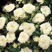 Роза сорт Сноу Мейландина - лот 1шт. саженец