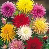 Георгина кактусовидная смесь цветов, 20 шт, до 2023.!