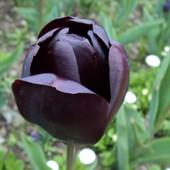 В лоте на выбор - черный Black Jack или желтый пионовидный Yellow Pomponnet