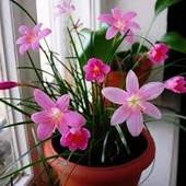 Зефирантес розовый или белый на выбор. . Комнатное растение. Лот 1 луковица