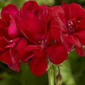"""Пеларгония темно-вишневая """"Рубиноваяая грань""""!Фото 2 - взрослое растение (идут два побега)!Фото мои."""