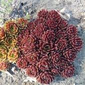 Каменная роза 5 шт. разных сортов одним лотом.