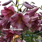 Лилия Пинк Перфекшн.Лилейное дерево. лилия гигант.Трубчатая лилия.Будет цвести в этом году!