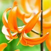 Orange Marmalade, лилия мартагон, ранняя, обильно цветущая.
