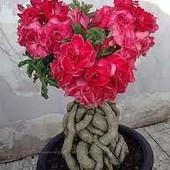 Адениум( Роза пустыни) (фото 3, 4)