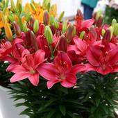 Лилия низкорослая Buzzer. можно выращивать не только в садовых клумбах, а и как горшочное растение;