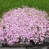 Гипсофила только розовая ! Незаменима в живых и сухих букетах!!