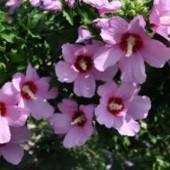 Саженец гибискуса древовидного. Цветы большие, светло-сиреневого цвета с тёмной серединкой.