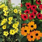 Семена Тунбергии Сьюзи смесь. Цветет с июня по сентябрь!!! Можно выращивать в комнате.