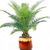 Комнатная Финиковая пальма. Семена до 2024 года.