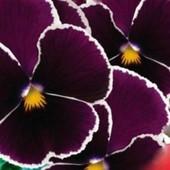 Семена виолы F1 Кассис ! Эксклюзивный цвет.