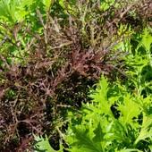 Мизуна японская салатная смесь 50+ семян