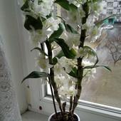 Орхидея Дендробиум Нобиле (Dendrobium Nobile)-3 укорененные детки