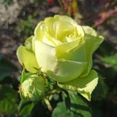 Роза чайно-гибридная сорт Амандин - лот 1шт. саженец