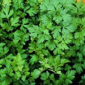 Петрушка Гигантелла 50+ семян